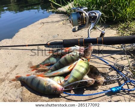 Spinning fishing. Caught perch. Freshly caught fish. Fishing on predator. The fish on the shore. - stock photo