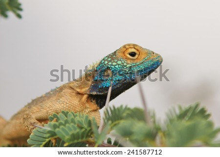 Spiny Agama - African Reptile Background - Blue Headed Lizard of Fun - stock photo