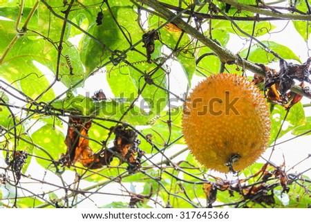 Spiny Bitter Gourd (Momorodica Cochinchinensis) - stock photo