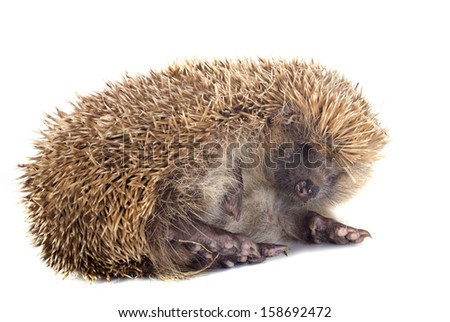 spiny forest hedgehog on a white background