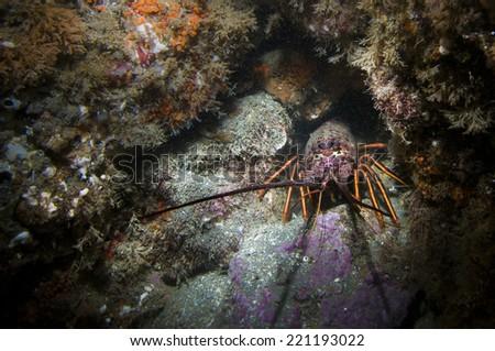 Spiny Lobster (Panulirus interruptus) - stock photo