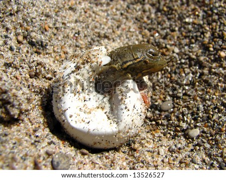 Spiny Softshell Hatching - stock photo