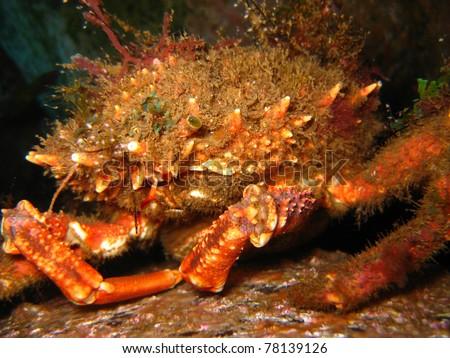 Spiny spider crab (Maja brachydactyla) - stock photo