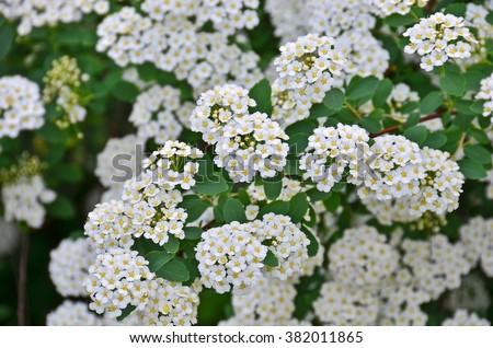 Spiraea alpine spring flower white flowering stock photo royalty spiraea alpine spring flower white flowering shrub mightylinksfo