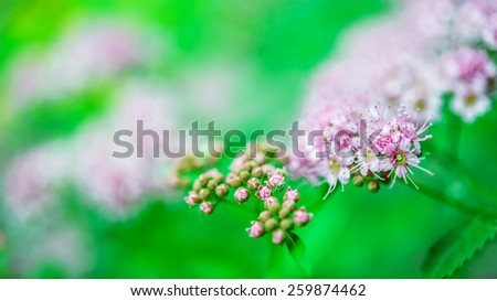 Spiraea japonica, is a genus of about 80 to 100 species of shrubs in the family Rosaceae. They are native to the temperate Northern Hemisphere, with the greatest diversity in eastern Asia. - stock photo
