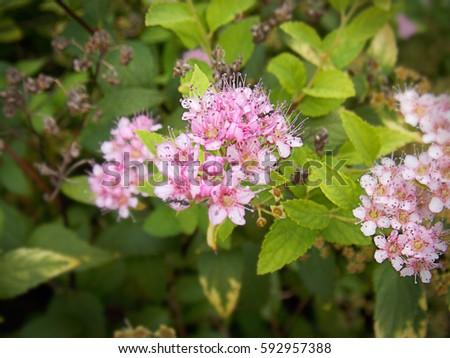 Spiraea japonica, 'Lemon Princess', Japanese spirea