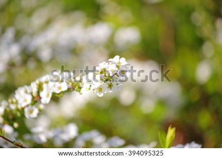 Spiraea arguta small white flowers blooming stock photo edit now spiraea or arguta a small white flowers are blooming in first spring season japanese name mightylinksfo