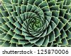 Spiral Aloe-Aloe Polyphylla - stock photo