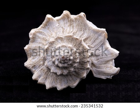 Spiral part of a conch shell. - stock photo