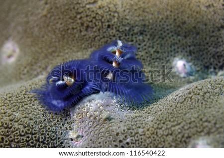 Spirobranchus giganteus - stock photo