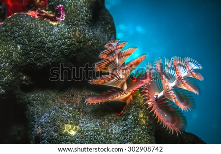 Spirobranchus giganteus, Christmas tree worms extended on Caribbean coral reef