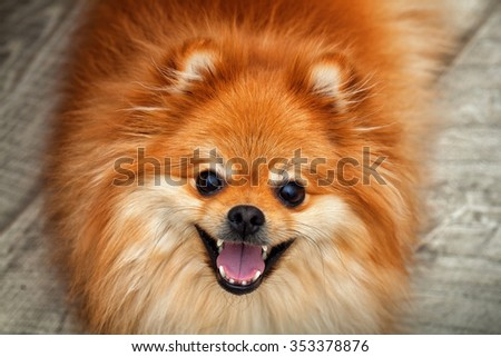 Spitz dog close-up, smiling dog with open mouth