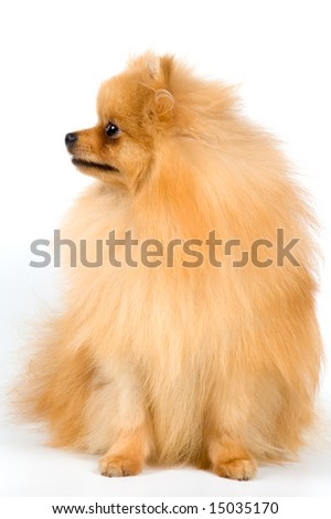 Spitz-dog in studio on a neutral background - stock photo