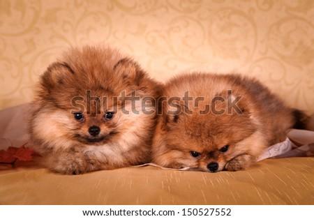 Spitz dog, puppy, cute, sweet, fluffy, round, kind, gentle - stock photo
