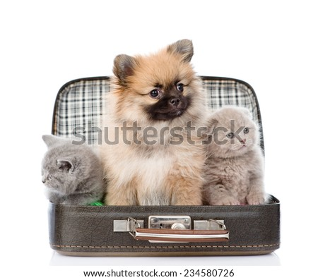spitz puppy and two scottish kitten sitting in a bag. isolated on white background - stock photo