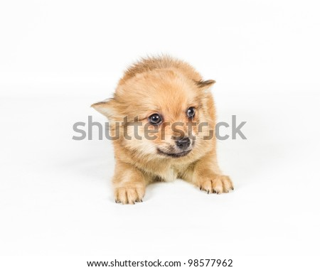 Spitz puppy in front of white background . Pomeranian dog isolated on a white background
