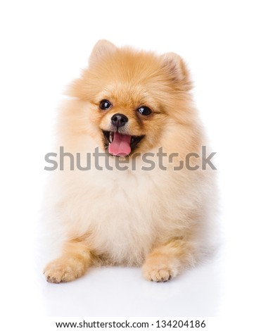 spitz puppy lying in front. isolated on white background - stock photo