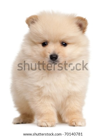 Spitz puppy, 2 months old, sitting in front of white background - stock photo