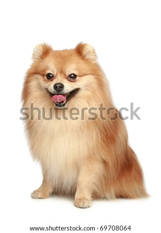 Spitz puppy sits on a white background - stock photo