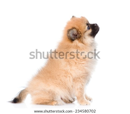 spitz puppy sitting in profile. isolated on white background - stock photo