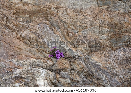 Splash of color on rock surface: the Purple Saxifrage (Saxifraga oppositifolia) is among the first flowering plants in arctic and alpine environments. - stock photo