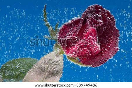 splashes of water and rose on a blue background