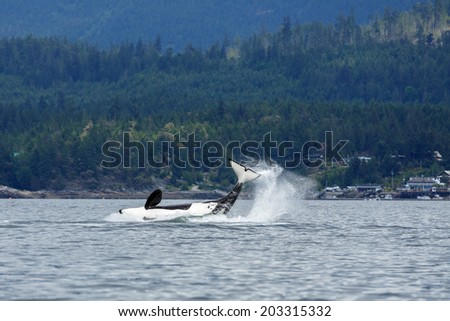 Splashing Orca or killer whale - stock photo