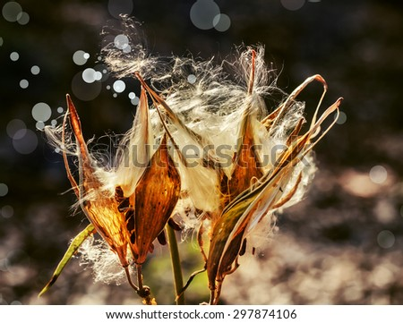 Splendid bunch of dried thistle flowers, Close-up of Ripe cotton flowers on branch - stock photo