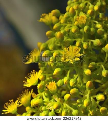 Splendid cluster with small wild flowers and buds of aeonium undulatum - stock photo