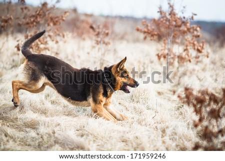 Splendid German Shepherd dog running outdoors - stock photo