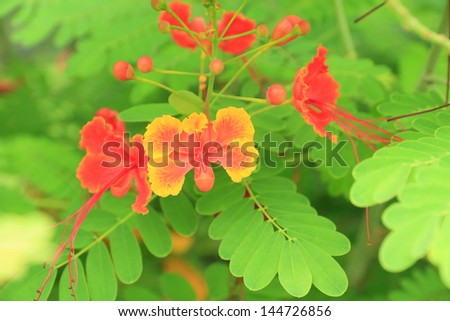 Splendid Gulmohar Flowers. - stock photo