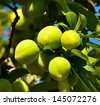 Splendid raceme of green plums between leaves and hanging from the branch of tree in foreground and with unfocused natural background - stock photo