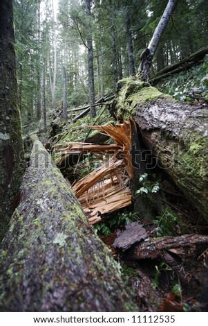 Splintered tree stump in an old growth forest - Pacific Northwest