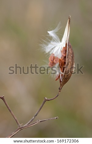 Split open to show its textured profile, a milkweed pod delicately balances itself on a wooden stem. The fluffy milkweed seeds escape the inner pod, taking flight into the meadow'??s sky. - stock photo