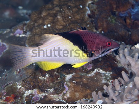 Splitlevel hogfish in Bohol sea, Phlippines Islands - stock photo