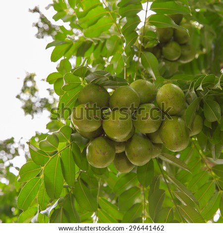 Spondias pinnata (L.f.) Kurz. Anarcardiaceae.Hog Plum,  - stock photo