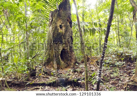 Spooky looking decomposing tree stump in rainforest, Ecuador, with holes resembling eyes and mouth.