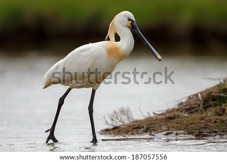 Spoonbill in a water