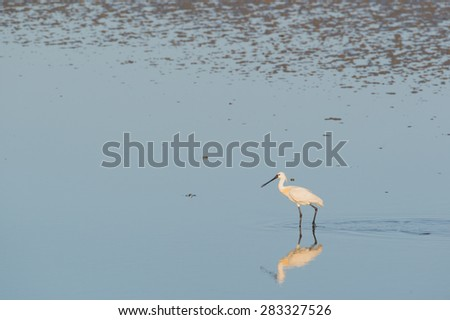 spoonbill searching for food in wadden sea - stock photo