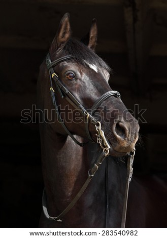 Sports horse with classical bridle, portrait at black background  - stock photo