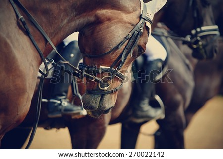 Sports horses in ammunition before competitions. Portrait of a sports stallion. Riding on a horse. Thoroughbred horse.  - stock photo