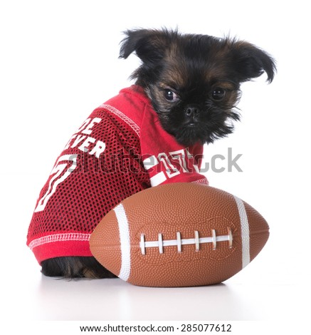 sports hound - brussels griffon wearing sports jersey sitting beside football - stock photo