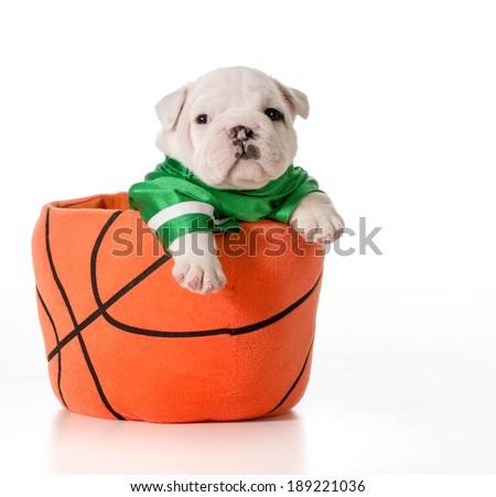 sports hound - bulldog puppy inside a basketball - stock photo
