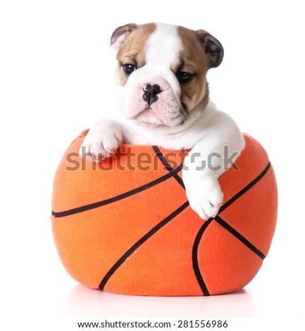 sports hound - bulldog puppy sitting inside a plush stuffed basketball - stock photo