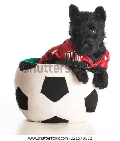sports hound - scottish terrier puppy wearing sports jersey sitting inside soccer ball - stock photo
