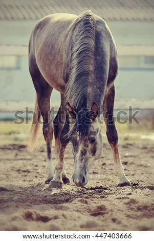 Sports thoroughbred horse walks in the paddock - stock photo