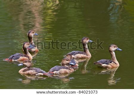 Spot-billed Duck - stock photo