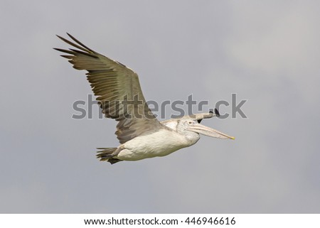 Spot-billed Pelican (Pelecanus philippensis) Flying in Thailand.