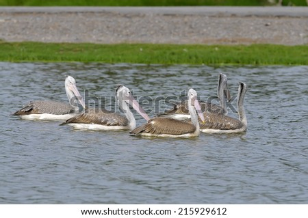 spot-billed pelican swimming at a local pond  - stock photo