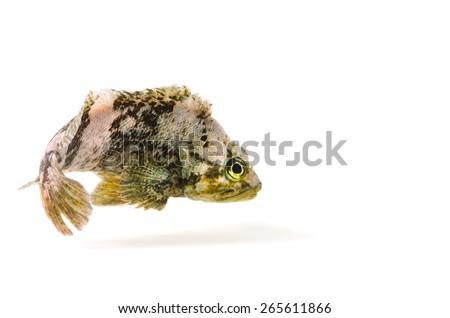 Spotbelly Rockfish-Sebastes pachycephalus, on white background.  - stock photo